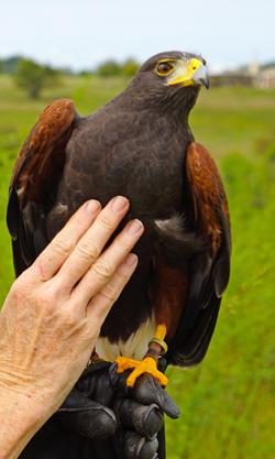 Dart the Harris Hawk