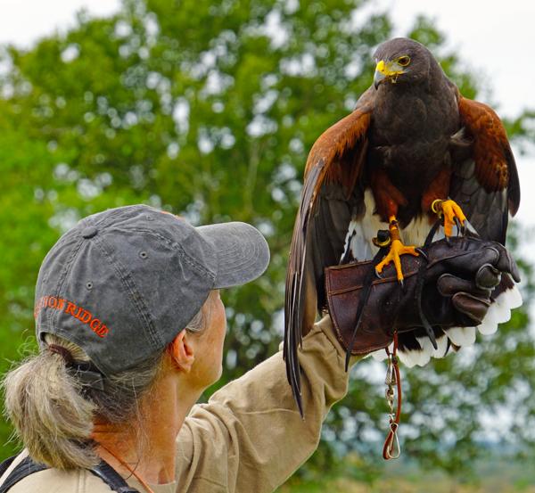 harris hawk and falconer