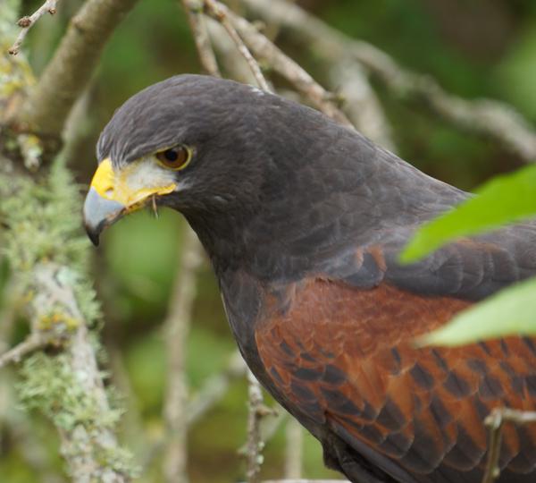 harris hawk closeup
