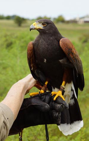 harris hawk on fist