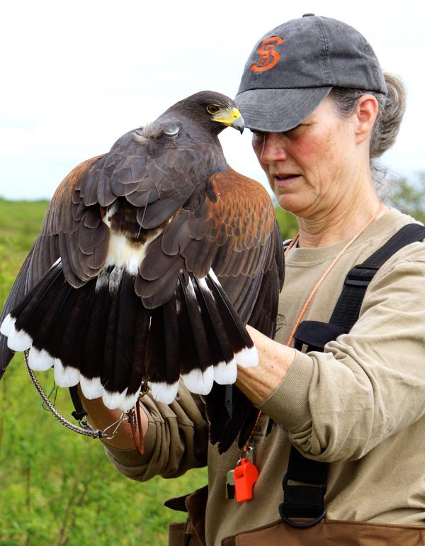 harris hawk transmitter