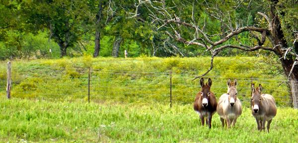 ranch donkeys