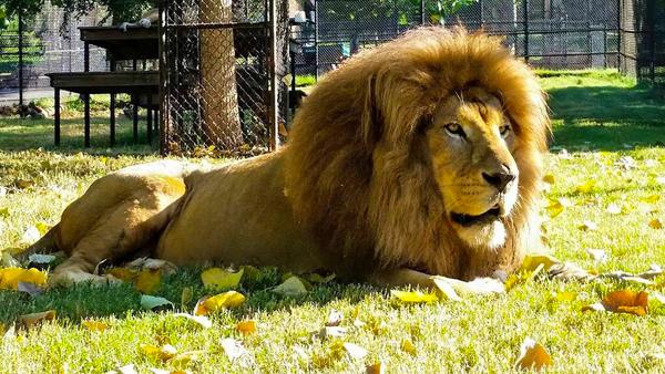 Pepe the Lion