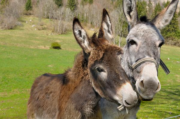 Two Donkey Companions small