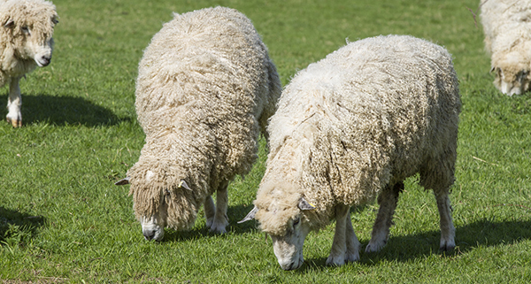 the-cotswold-lion-sheep-small